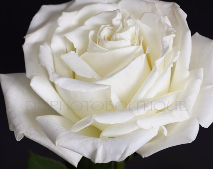 Rose Art Print, Rose Art Work, Rose Artwork, Rose Art, Rose Photo, Rose Photography, Rose Print, Rose Wall Art, Rose Decor, Rose Canvas,Rose