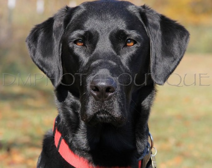 Labrador Retriever Print, Black Lab Print, Lab Print, Labrador Retriever, Lab, Black Lab, Lab Photo, Lab Lover, Lab Retriever Photo, Lab Art