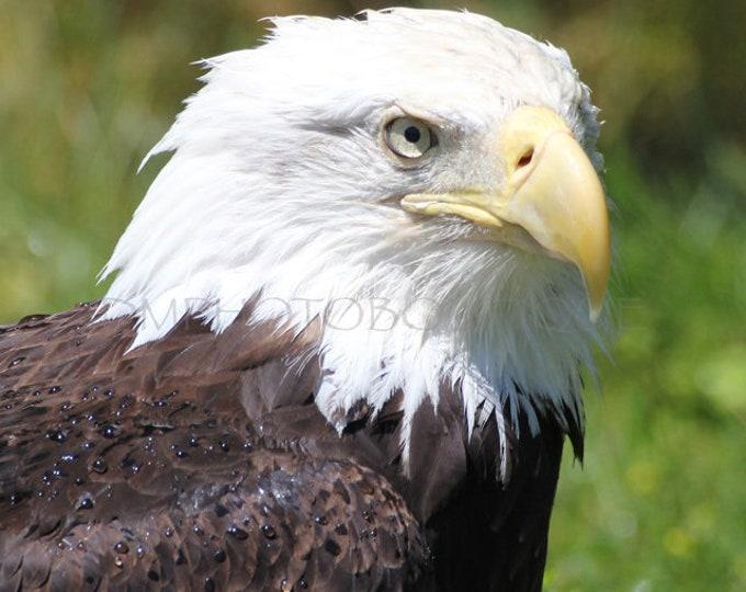 American Bald Eagle Print, American Bald Eagle Canvas, American Eagle, Eagle Print, Eagle Photo, Eagle Canvas, Eagle Canvas Wall Art, Eagle