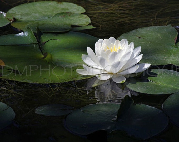 Water Lily Print, Water Lily, Lily Pad Print, Lily Print, Wall Art, Wall Decor, Spa art, Tranquil Art, Water Lily Art, Water Lily Wall Art