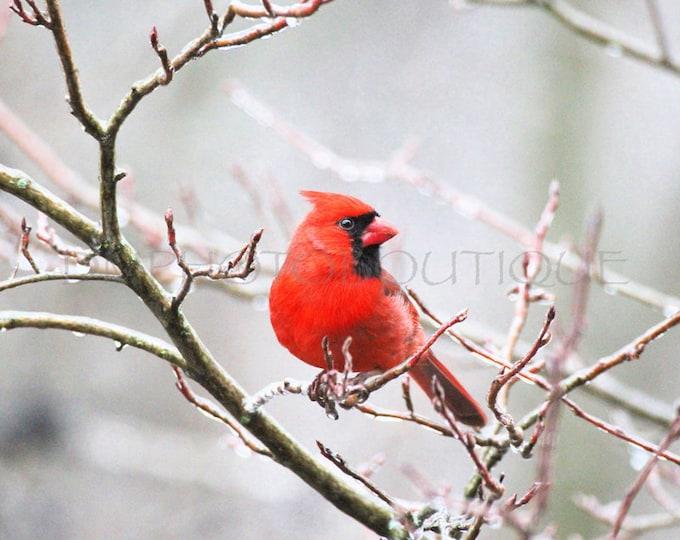 Cardinal Photo, Cardinal Print, Cardinal Photograph, Cardinal Photography, Notecards, Cardinal Photo Cards, Cardinal Photograph, Bird Prints