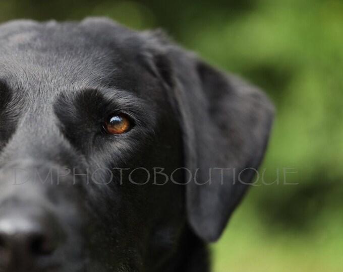Labrador Retriever Print, Labrador Retriever Photo, Black Lab Print, Black Lab Photo, Dog Notecards, Labrador Retriever, Lab, Black Lab