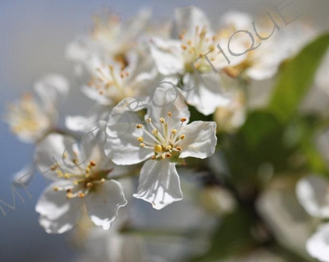 Blossom Print, White Flower Photo, Flower Print, Flower Photo, Flower Art, Apple Blossom, Flower Artwork, Wall Art Print