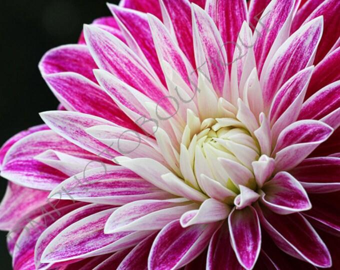 Pink Dahlia 3 - Flower Print, Notecards, Flower Photo, Flower Print, Home Decor, Wall Art, Wall Decor, Flower Art, Flower, Dahlia
