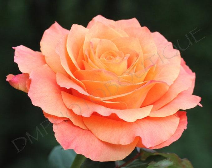 Free Spirit - Flower Print, Notecards, Rose Photo, Home Decor, Rose Photography, Wall Decor, Flower Photo, Flowers, Flower Gift, Flower Art
