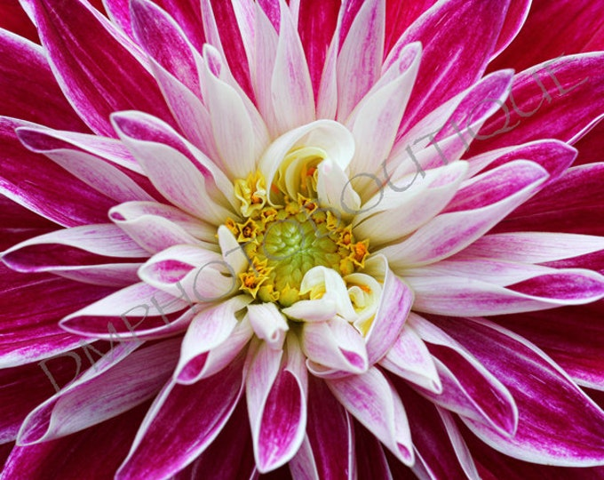 Dahlia Print; Notecards, Flower Photo, Dahlia, Dahlia Art, Flower Wall Decor, Kitchen Decor, Flower Print, Flower Art, Dahlia Photo, Flower