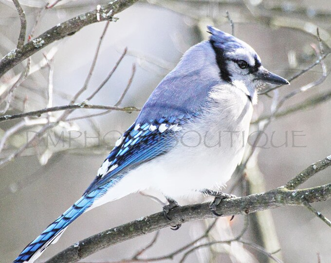 Blue Jay Canvas, Bird Canvas, Blue Jay, Nature Canvas, Nature Print, Blue Jay Print, Bird Print, Wall Art Print, Wall Art, Bird