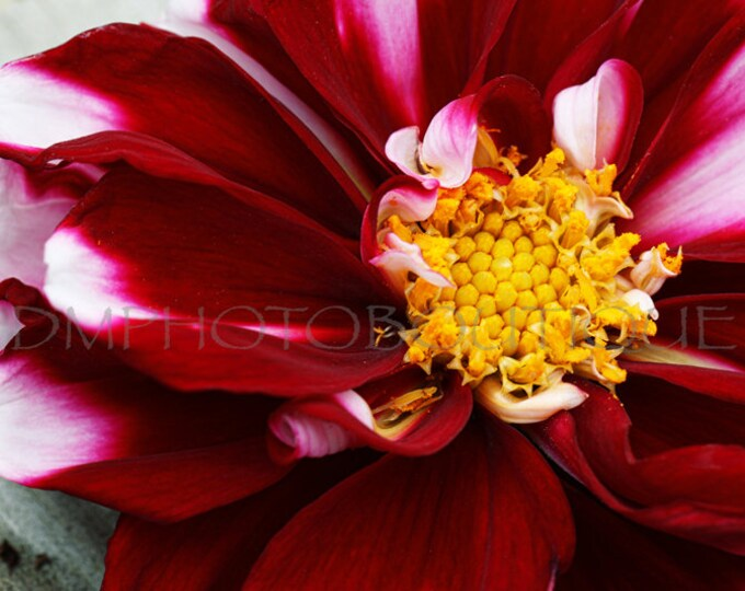 Red Flower Print, Red Flower Photo, Flower Print, Flower Photo, Macro Flower, Flower Art Print, Flower Wall Art, Flower Artwork, Flower