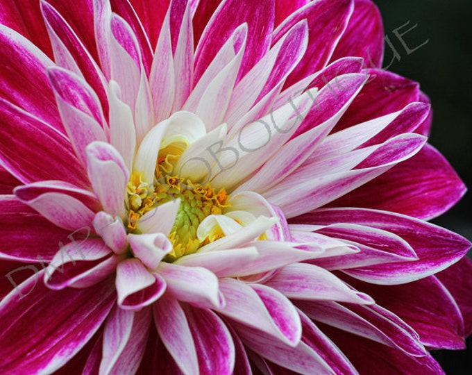 Pink Dahlia 4 Fine Art Print, Notecards, Flower Photo, Wall Decor, Home Decor, Flower Print, Dahlia, Flower, Flower Art, Wall Art