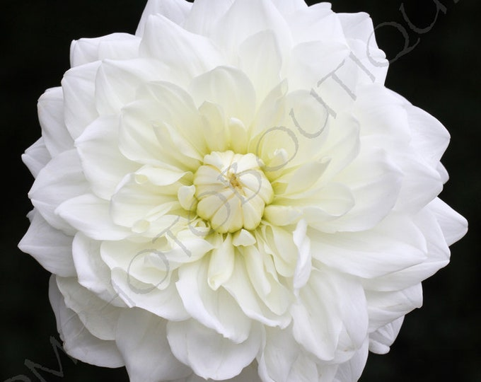 White Dahlia Print, Notecards, Flower Photo, Home Decor, Wall Art, Flower Print, Wall Art Print, Flower, Flower Canvas, Dahlia Flower