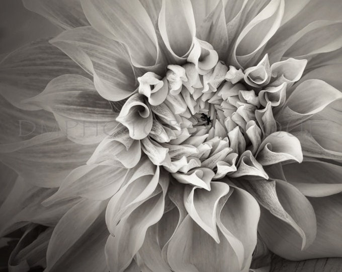 Black and White Dahlia Print, Floral Print, Floral Canvas, Dahlia Print, Dahlia Canvas, Dahlia, Dahlia Photography, Flower Artwork