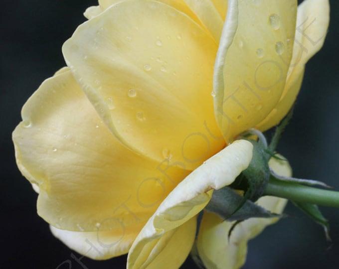 Strength And Beauty - Fine Art Print, Flower Photo, Flower Photography, Flower Print, Rose, Rose Photo, Rose Print, Yellow Rose, Wall Art