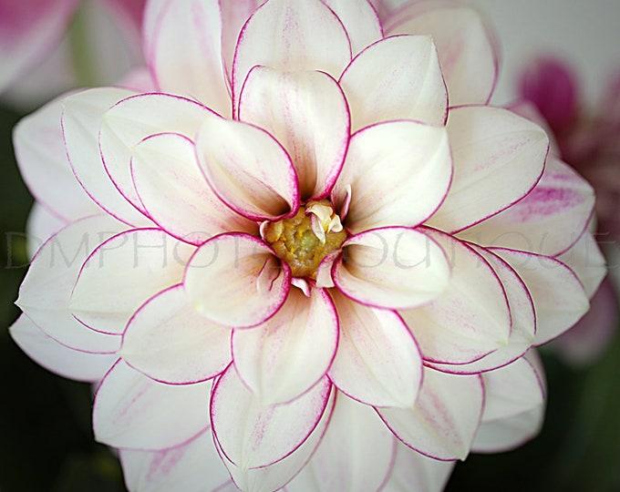 White Dahlia Print, Dahlia Print, Dahlia Canvas, Dahlia Wall Art, Dahlia Art, Dahlia Art Print, Flower Art, Flower Wall Art, Flower Canvas