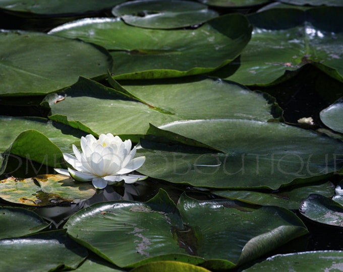 Water Lily Print, Water Lily Canvas, Water Lily, Lily Pad Print, Spa Art, Tranquil Art, Water Lily Art, Water Lily Wall Art, Wall Art, Lily