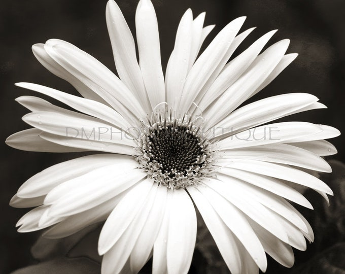 Black And White Gerbera Daisy Canvas Print, Gerbera Daisy, Gerbera Daisy Photo, Flower Print, Flower, Daisy Print, Flower Photo, Flower Art