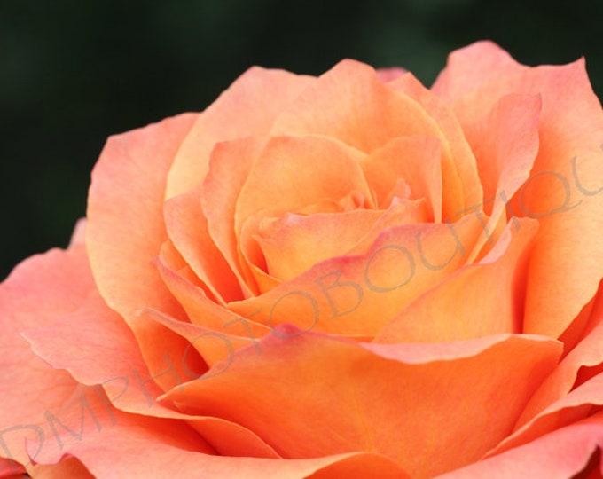 Free Spirit Rose, Flower Print, Notecards, Rose Art, Rose Photo, Flower Photo, Home Decor, Wall Decor, Flower Art, Rose Print
