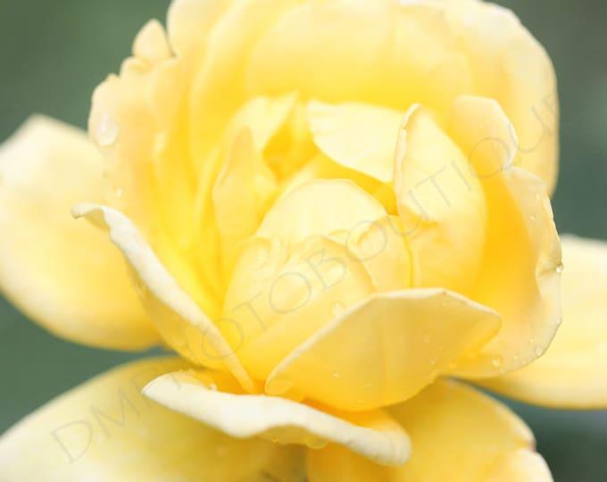 Yellow Rose - Fine Art Print, Flower Photo, Flower Print, Rose Photo, Rose Print, Rose Photo, Wall Art Print, Wall Decor, Wall Art, Flower