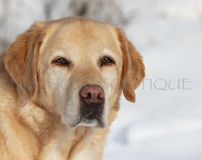 Yellow Lab Print, Yellow Lab Notecards, Yellow Lab, Labrador Retriever Print, Labrador Retriever, Lab Print, Lab Notecards, Dog Notecards