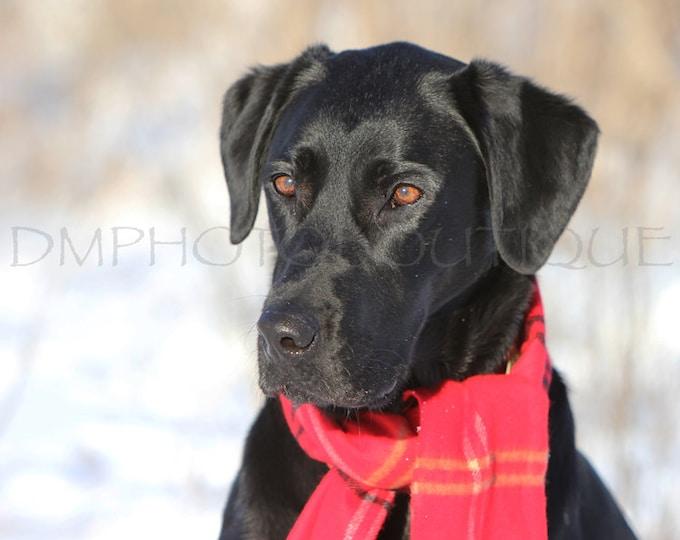 Labrador Retriever Photo, Labrador Retriever Print, Labrador Retriever, Lab, Lab Photo, Lab Print, Black Lab, Black Labrador Retriever, Dog