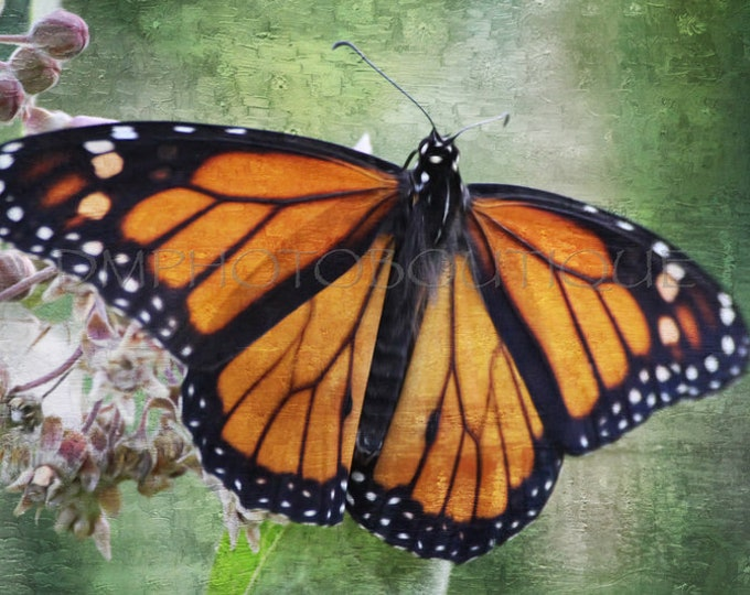Monarch Butterfly Canvas, Monarch Butterfly Print, Monarch Butterfly Art, Butterfly Canvas, Butterfly Print, Butterfly Art,Butterfly Artwork