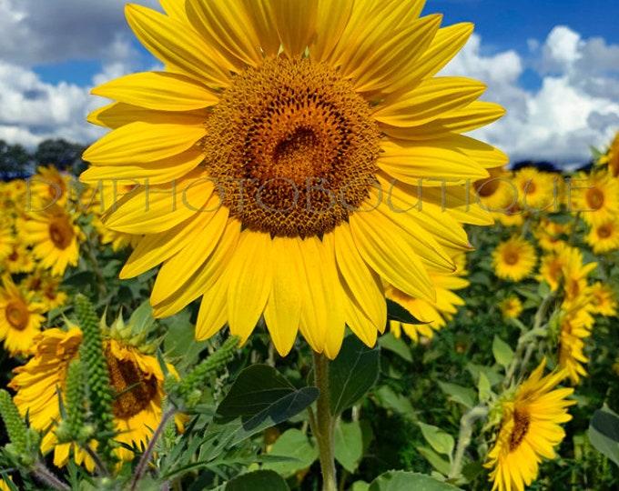 Sunflower Print, Sunflower Canvas, Sunflower Art, Sunflower Artwork, Sunflower, Sunflower Decor, Sunflower Art Print, Sunflower Gift, Flower