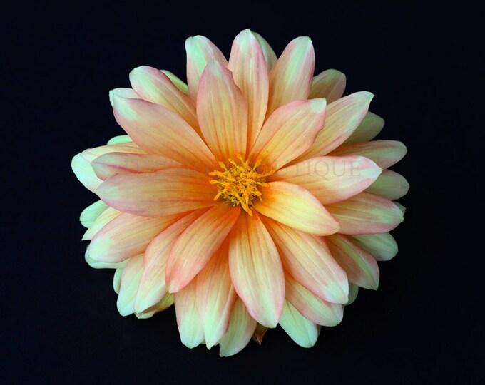 Dahlia Print, Dahlia Canvas, Dahlia Wall Art, Dahlia Wall Hanging, Dahlia Art, Dahlia, Dahlia Decor, Flower Art, Flower Wall Art, Floral Art