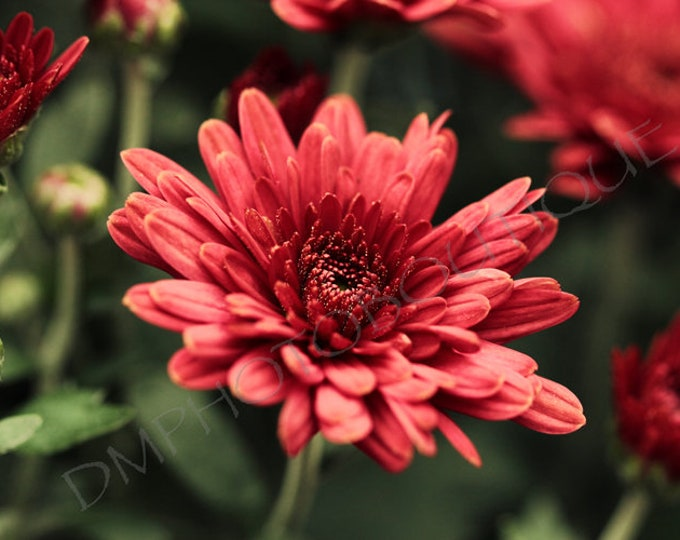 Red Mum - Fine Art Print; Notecards, Picture For Wall, Flower Art, Flower Print, Flower Photo, Flower Art, Red Flower, Flower