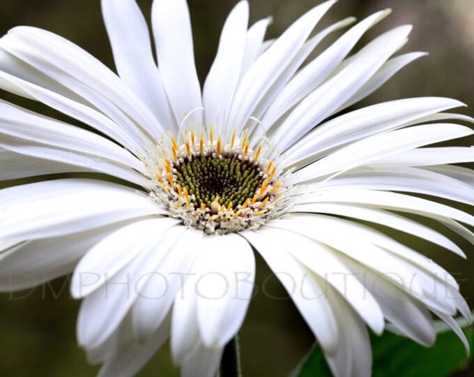 Gerbera Daisy Print, Gerbera Daisy, Gerbera Daisy Photo, Flower Print, White Gerbera Daisy, Daisy Print, Flower Photo,Flower Wall Art,Flower