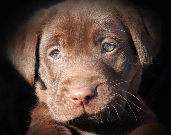 Lab Puppy Print, Labrador Retriever Puppy Print, Lab Print, Labrador Retriever Print, Labrador Retriever, Chocolate Lab, Brown Lab Puppy