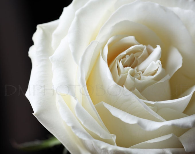 White Rose Print, Rose Print, Rose Art Work, Rose Artwork, Rose Photo, Rose Photograph, Flower Print, Flower Art, Flower Wall Art, Flower