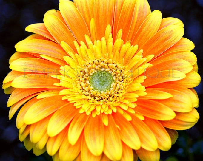 Gerbera Daisy Print, Gerbera Daisy Art, Daisy Art, Flower Print, , Daisy Print, Flower Art, Flower Wall Art, Flower Wall Decor,Flower Canvas