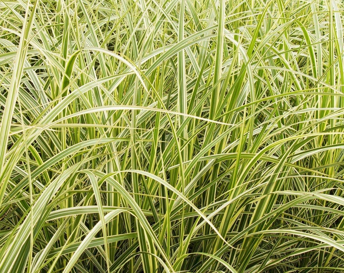 "Variegated Japanese Silver Grass Miscanthus sinensis 'Variegatus'   - 1  Plant - 1 Feet Tall - Ship in 6"" Pot"