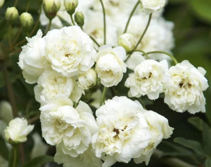 "White Lady Banks Climbing Rose - 1 Plants - 2   Feet Long - Ship 6"" Pot"