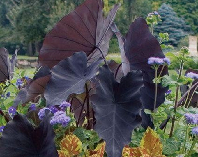 """Black Magic  Colocasia - 1 Starter Plants - 8"""" to 1  Feet Tall - Ship in 1 Gal Pot"""