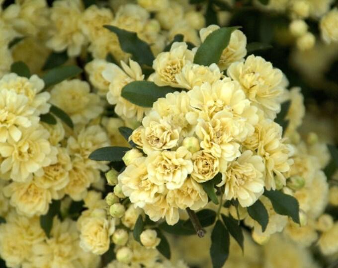 "Rosa banksiae ' Lutea' - Yellow Lady Banks Climbing Rose - 1 Plants -1 tyo 2 Feet Tall - Ship 6"" Pot"