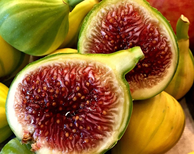 Fig 'Panache'  - 1 Plants -  2  to 3 Feet Fall -  Ship in 3 Gal Pot