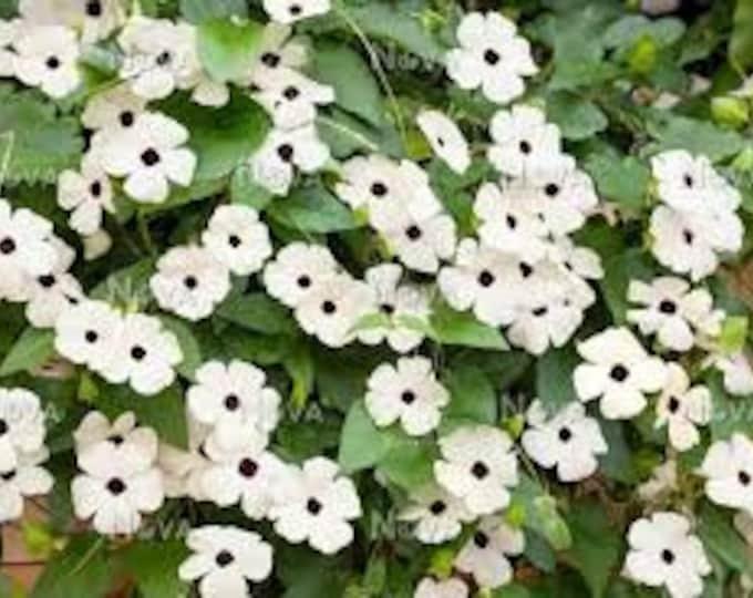 "Thunbergia White - 1 Starter Plants  - 1 to 2 feet Long  - Ship in 6"" Pot"