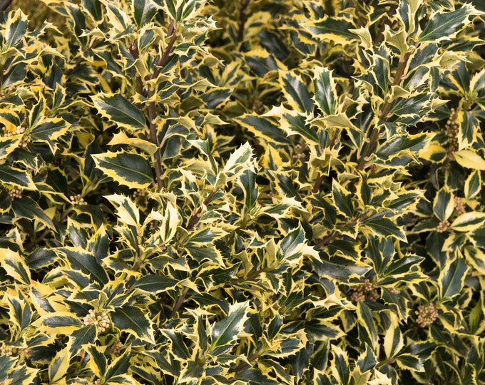 Gold Coast English Holly - Ilex aquifolium -  2 Feet Tall - Ship in 3 Gal Pot