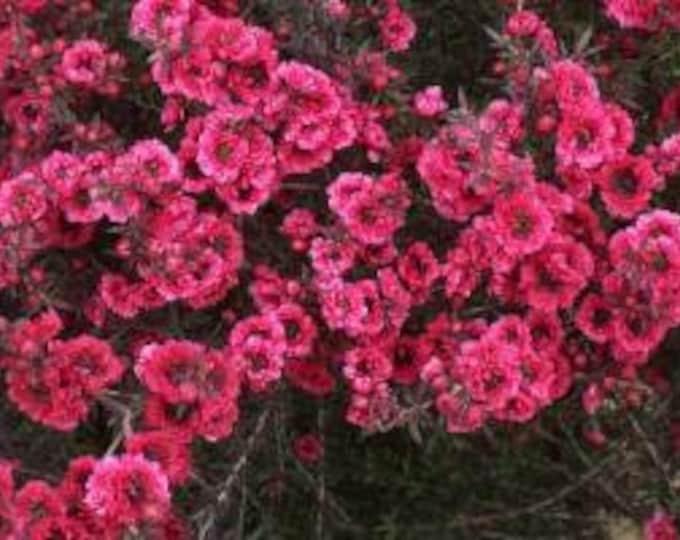 """Leptospermum scoparium 'Ruby Glow' - 1 Plants  - 1 feet Long  - Ship in 6"""" Pot"""