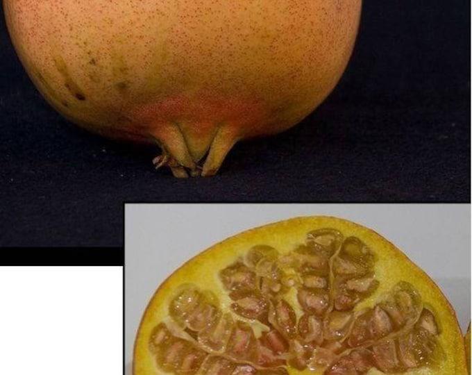 Pomegranate Utah Sweet - 2 Feet Tall  - Ship in 3 Gal Pot