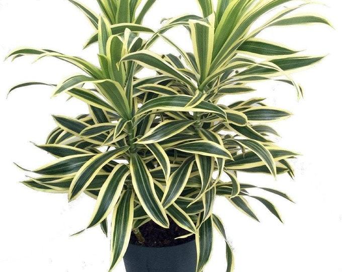 "Song Of India Dragon Tree - Pleomele - 1 Plants  - 8"" To 1 Feet Tall  - Ship In 6"" Pot"