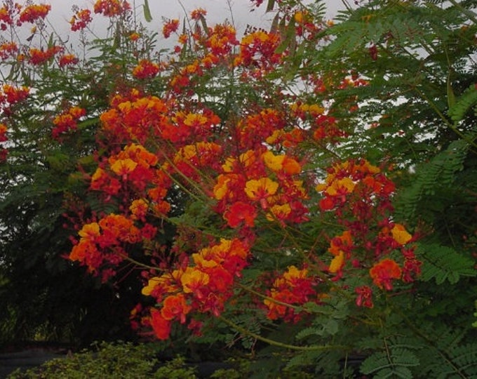 Caesalpinia  Pulcerrima - pride of barbados - 1  Plant - 1 to 2  Tall - Ship in 3Gal Pot