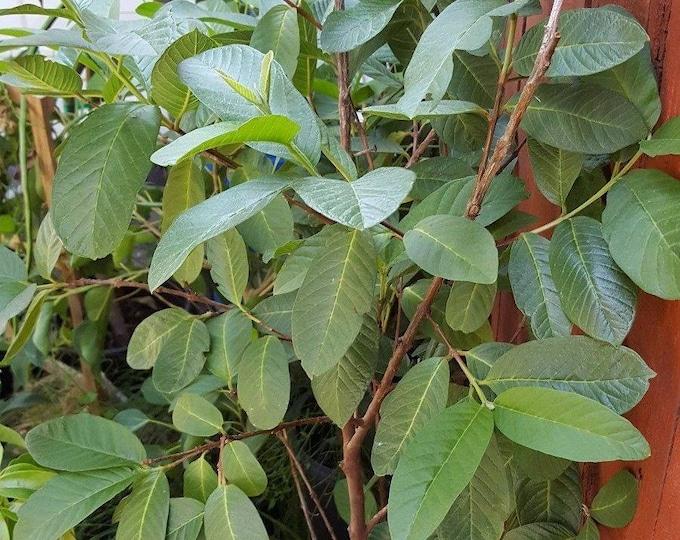 Guava White Flesh - 4  Feet Tall -  Ship in 3 Gal Pot