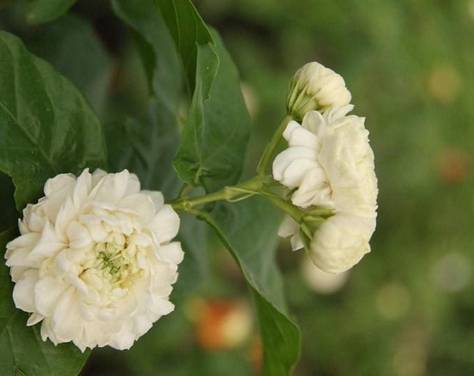 Grand Duke Arabian Jasmine   - 1 Plants  - 2 to 3 Feet Tall   - Ship in  3 Gal  Pot