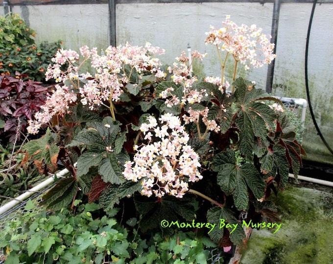 "Begonia 'Paul Hernandez' -  1 Plants - 1   Feet Tall - Ship in 6"" Pot"