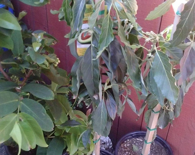 GEM Avocado - Grafted Tree - 1 to 2 Feet Tall - Ship in 3 Gal Pot