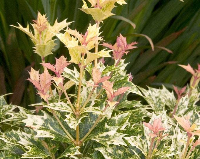 "Goshiki False Holly - Osmanthus heterophyllus 'Goshiki'- 1 Plants - 1 Feet Tall - Ship in 6"" Pot"