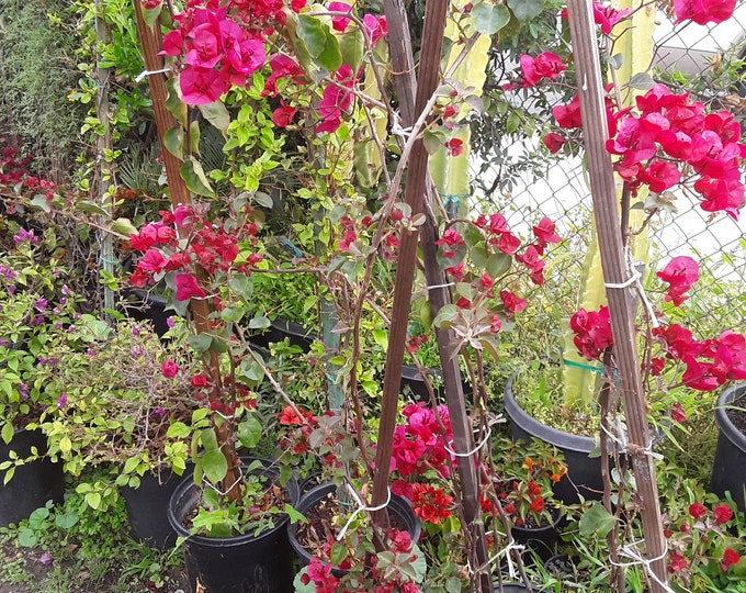 Bougainvillea  Red To Pink - 1 Plant -  3 Feet Tall   - Ship In 3 Gal Pot