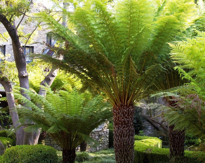Tasmanian Tree Fern Dicksonia antarctica -  1 Plants - 2 Feet Tall - Ship in 3 Gal Pot