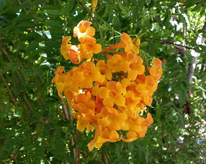 Tecoma  'Orange Jubilee' -  1 Plants - 2 to 3 Feet Tall - Ship in 3 Gal Pot